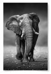 Poster Elefant