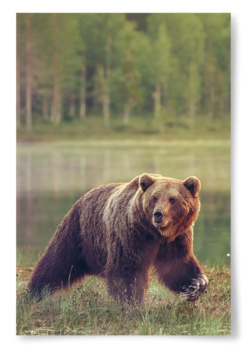 Poster Brunbjörn i Natur